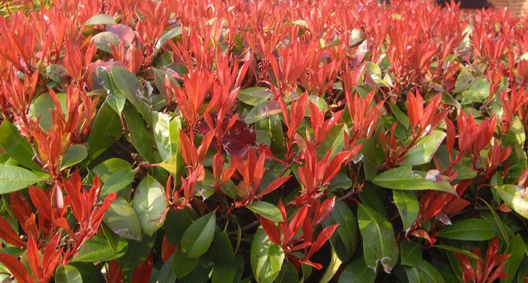 Photinia potatura