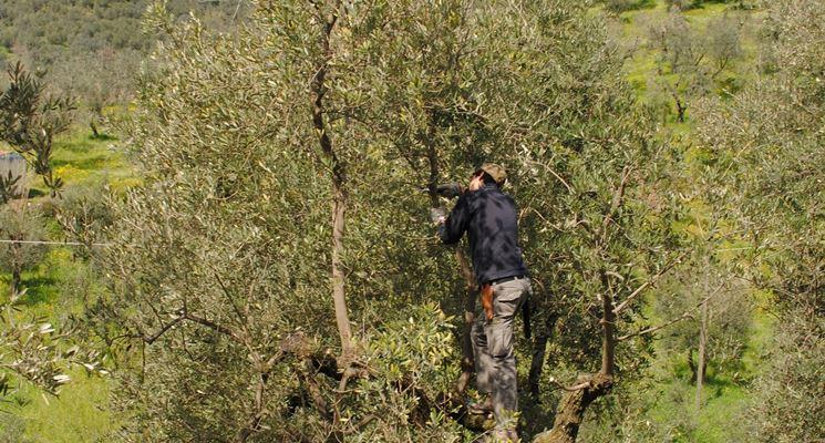 Potatura di albero di ulivo