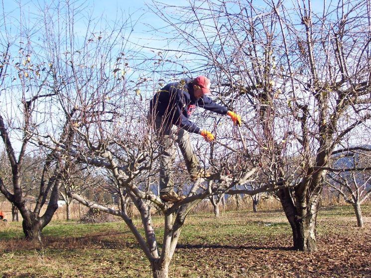 Potare il melo potatura potatura melo for Potatura del melo