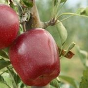 potatura melo