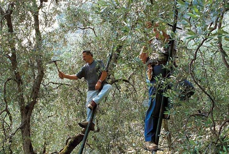 Alcuni 'addetti ai lavori' durante la potatura dell'olivo