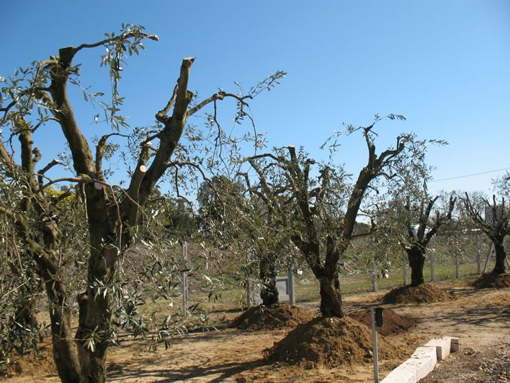 Alcuni olivi potati