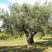 Maestoso albero di ulivo