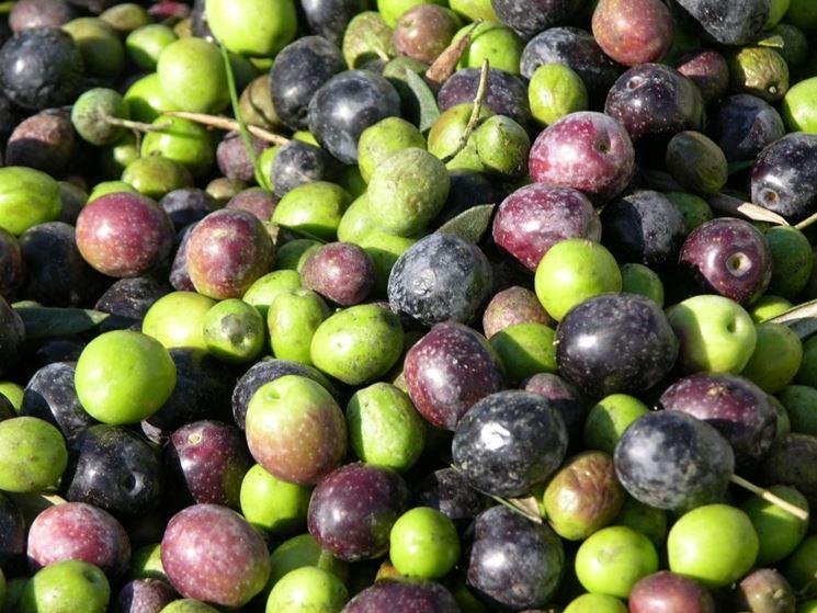 Olive appena raccolte