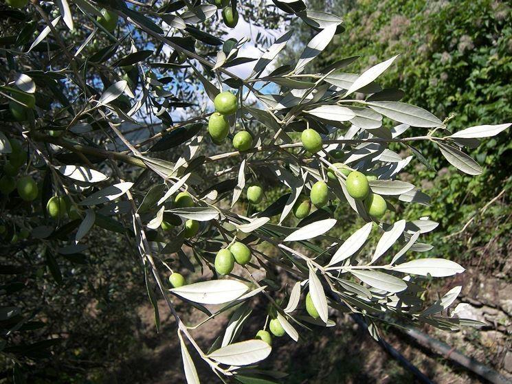 Ramo di ulivo colmo di frutti