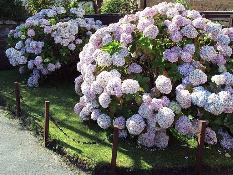 Ortensia a fiore rosa