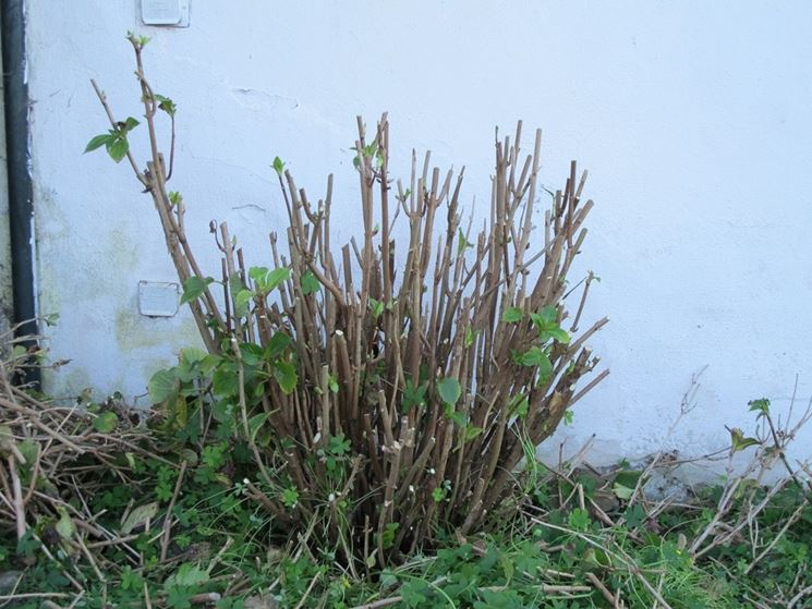 L'ortensia arbustiva dopo la potatura