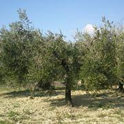 Esemplari di olivi potati