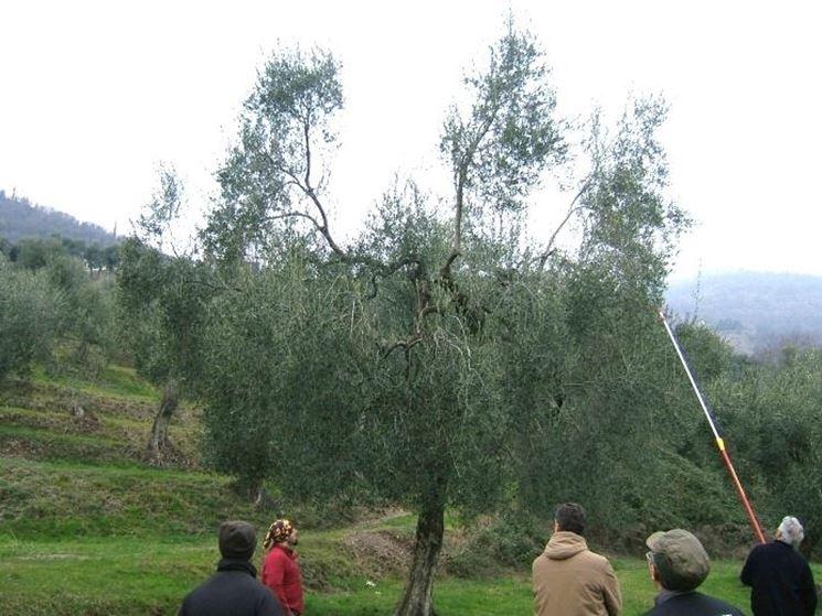 Potatura olivo da terra