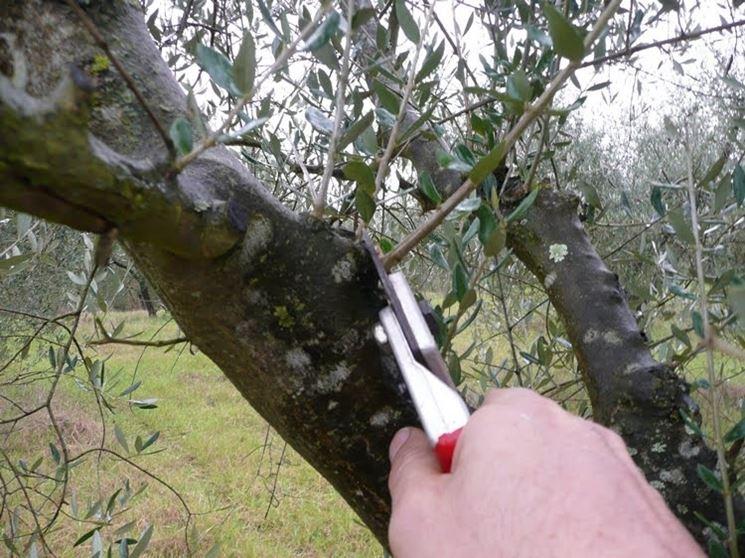 Dettaglio potatura olivo