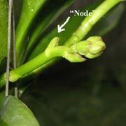 nodo di orchidea