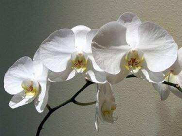 orchidea in fiore