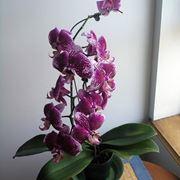 orchidea potatura