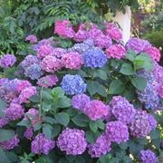ortensia in fiore