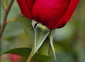Potare rose