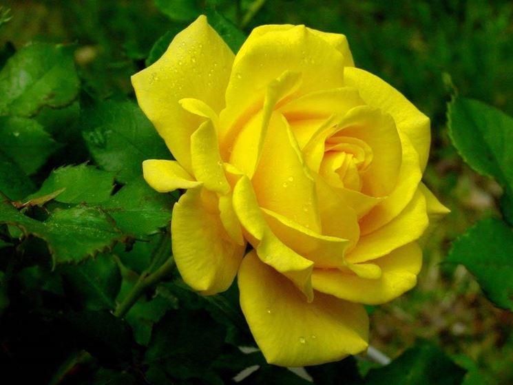 Potare rose potatura come potare le rose for Potatura delle rose