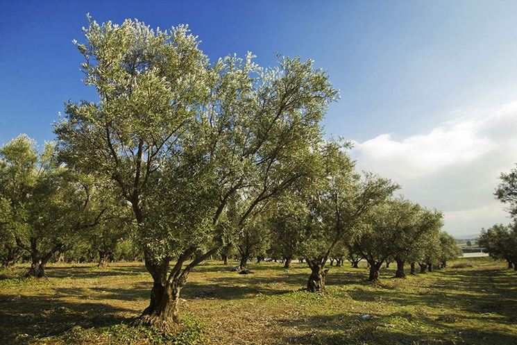 Piantagione di ulivo