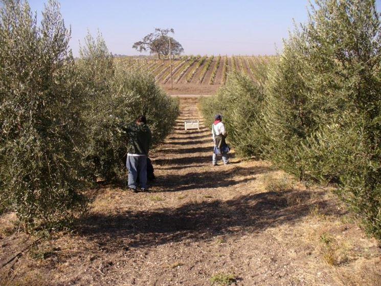 Cura e concimazione degli alberi di ulivo