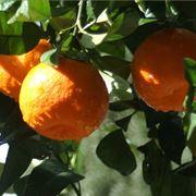 arance agrumi