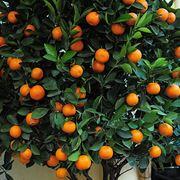 Potatura agrumi periodo potatura for Potatura limone periodo