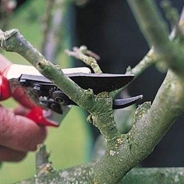 potatura ramo