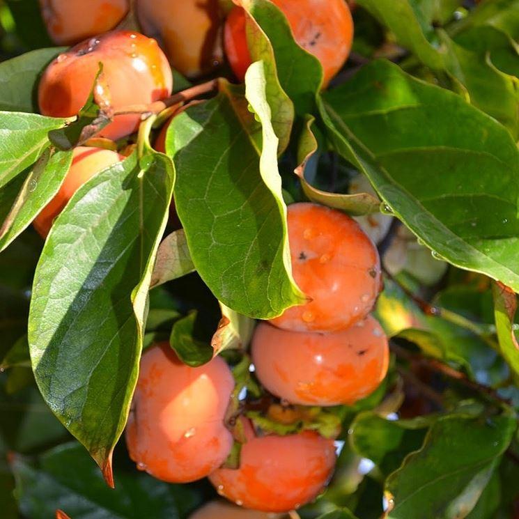 Frutti e foglie del cachi