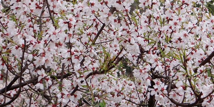 Albero ciliegie