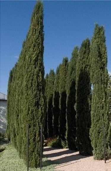 cipressi italiani