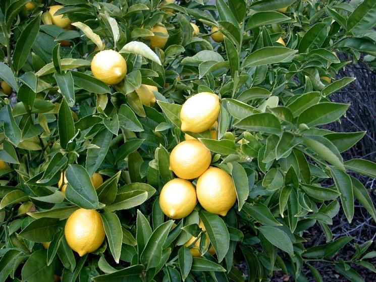 pianta di limoni nel giardino