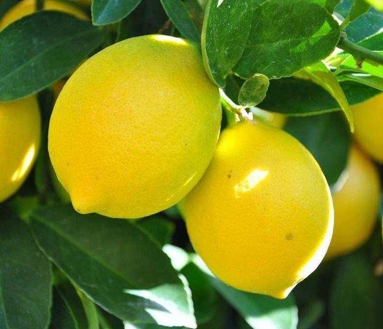 Potatura del limone potatura consigli per potare il limone for Pianta di limone