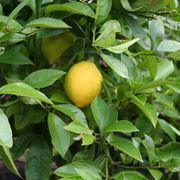 potatura del limone