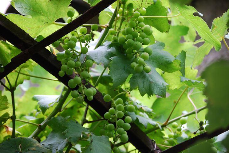 Potatura della vite potatura come potare la vite - Potatura uva da tavola ...