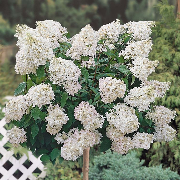 Ortensia Hydrangea paniculata