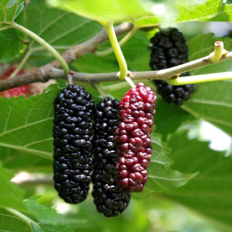 Frutti pianta gelso