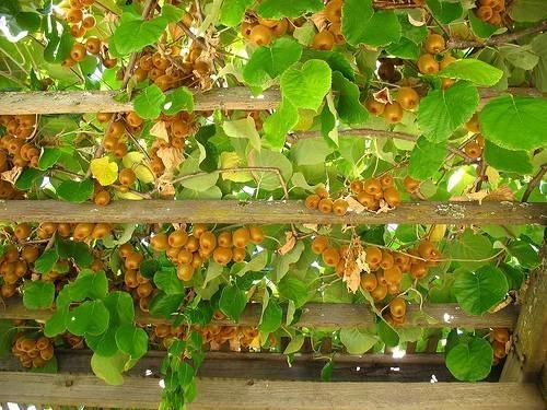 Potatura kiwi potatura for Piante da frutto kiwi