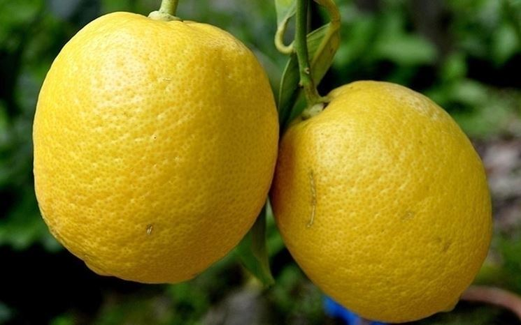 Alberi limoni