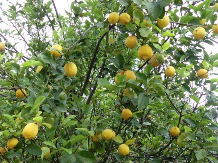 Potatura limoni in vaso potatura come potare i limoni for Pianta di limone