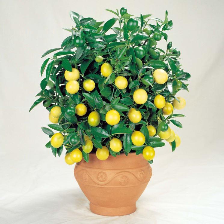 Potatura limoni in vaso potatura come potare i limoni for Potatura limone periodo