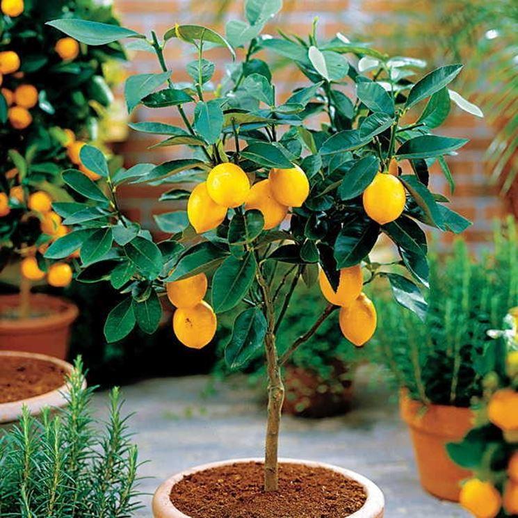 Piccolo limone in vaso