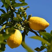 come potare il limone in vaso