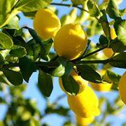 come potare un limone