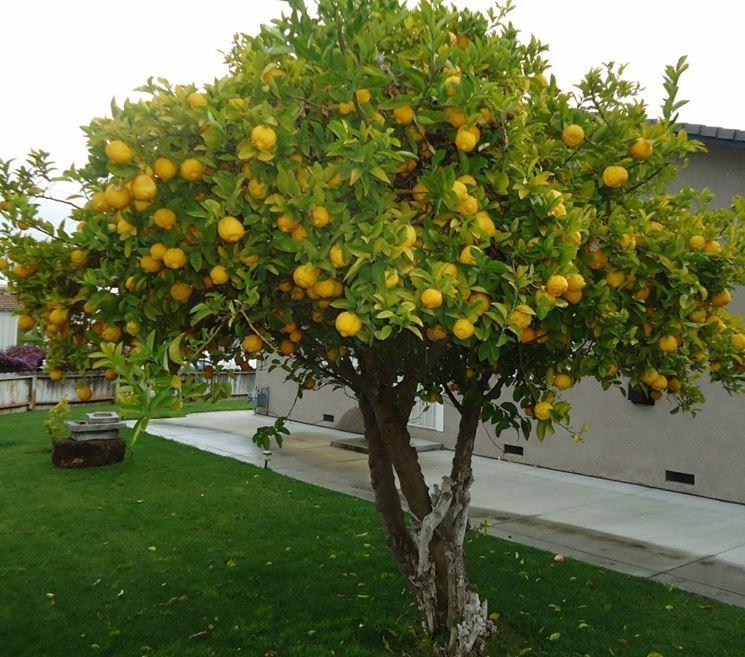 Pianta di limone fruttificata