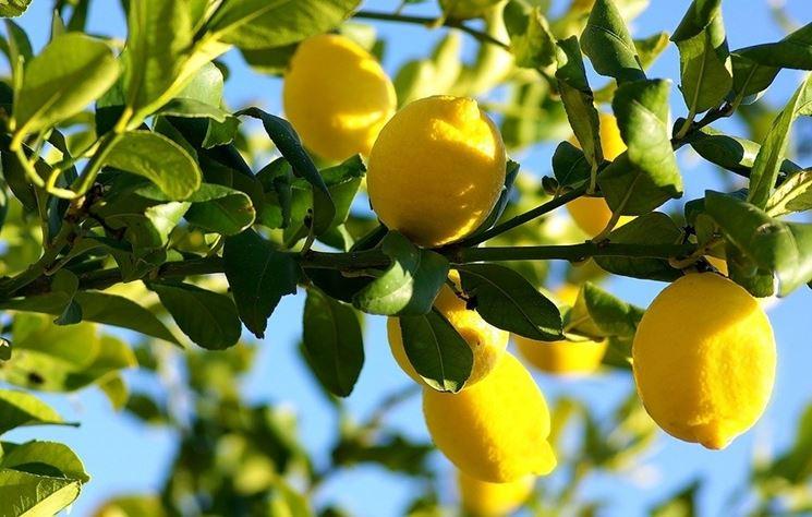 Limoni maturi in pianta