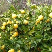 potatura limoni 4 stagioni