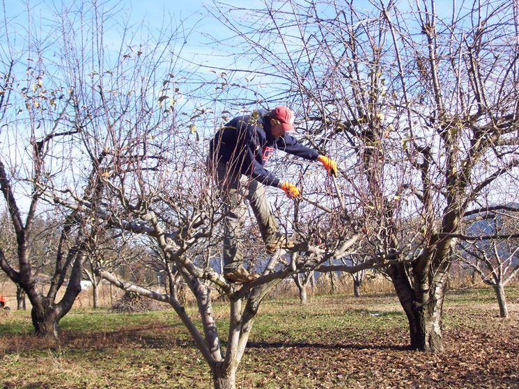 Potatura alberi melo