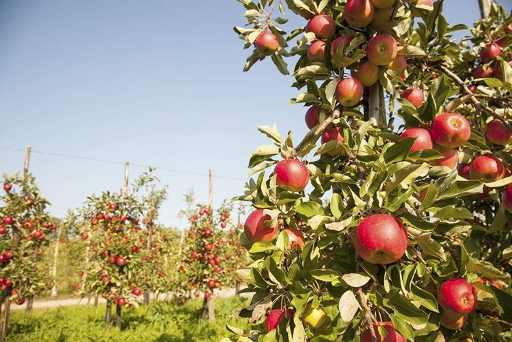 Coltivazione melo