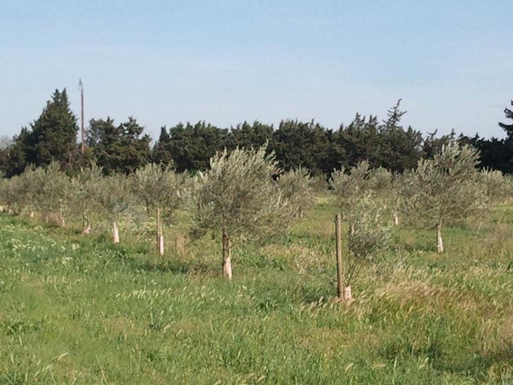 Campo olivi