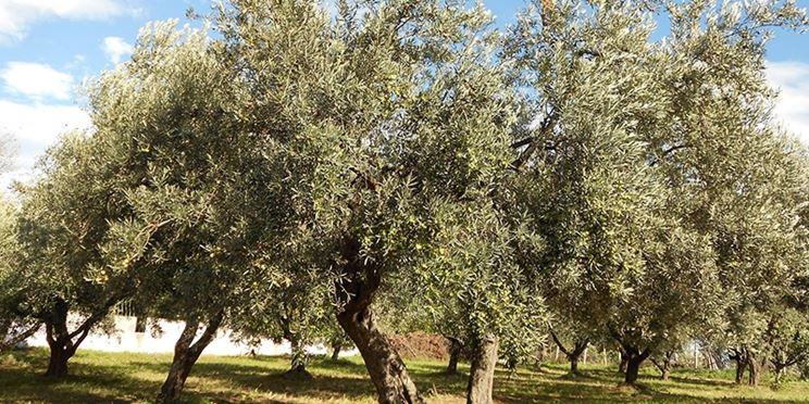 Piante olive