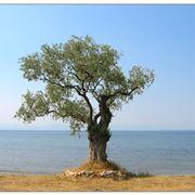 Magnifico esemplare di olivo