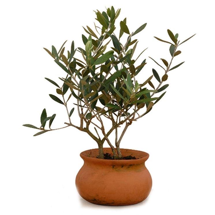 Esemplare di olivo in vaso